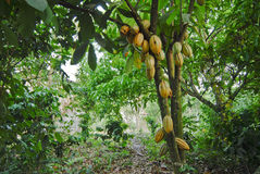 Wild cacao tree. A wild cacao tree growing in a small village in northern quatemala Stock Photo