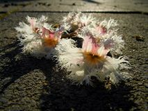 Wild cache flower Stock Photos