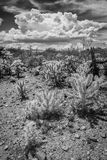 Wild Cactus in Arizona Desert Stock Photography