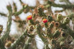 Wild cactus blossom. Wild cactus plant red flowers between sharp needles stock photography