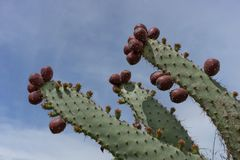 Wild cactus with delicious fruits against a blue sky. stock images