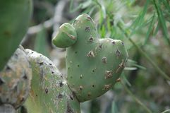 Wild cactus leaf in shape of a heart royalty free stock photos