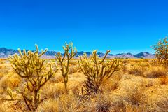 Wild cactus in natural habitat conditions. USA royalty free stock photography