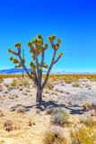 Wild cactus  in natural habitat conditions. USA royalty free stock photos