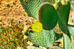 Wild cactus in natural habitat conditions. USA royalty free stock photo