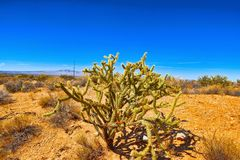 Wild cactus in natural habitat conditions. USA royalty free stock images