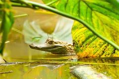 Wild Caiman In The Amazonian Swamps. Wild Caiman Shot In Ecuadorian Jungle Amazon Basin royalty free stock photo
