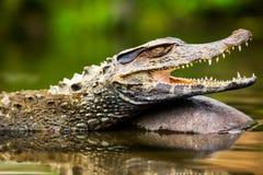 Wild Caiman Crocodilus Stock Images