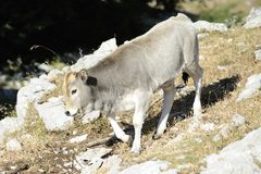 Wild Calf is grazing Royalty Free Stock Image