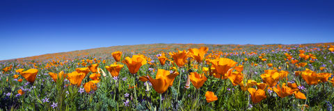 Wild California Poppies. At Antelope Valley California Poppy Reserve stock photo