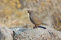Wild California Quail standing on stone in Nevada. USA royalty free stock photo