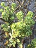 Wild California succulents plants. Lompoc, CA. USA Stock Photo