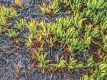 Wild Califronia succulents plants. Lompoc, CA. USA Royalty Free Stock Photo