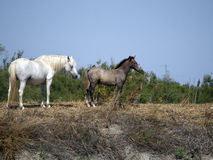 Wild Camargue horses Royalty Free Stock Photography