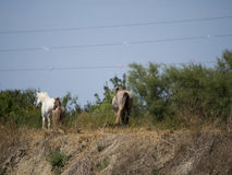 Wild Camargue horses Royalty Free Stock Photos