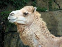 Wild Camel. Closeup of a shaggy wild camel stock photography