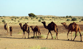 Wild camel. Royalty Free Stock Photography