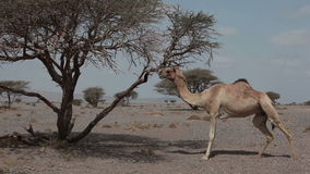 Wild camel stock video