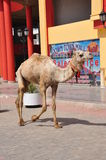 Wild camel in the city Royalty Free Stock Photography