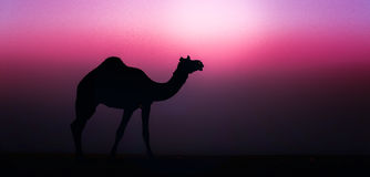 Wild Camel. At a desert near Jaisalmer, Rajasthan. India Stock Image