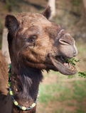Camel grazes on acacia bushes with thorns Stock Photography