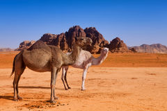 A wild camel family in desert Stock Photos