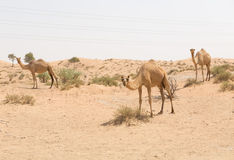 Wild camel in the hot dry middle eastern desert, dubai, uae. Wild camel in the hot dry middle eastern desert uae Royalty Free Stock Photos