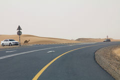 A wild camel walks on a road next to a desert in Dubai UAE as cars drive past Royalty Free Stock Image