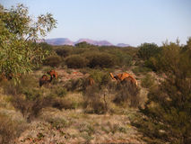 Wild Camels in Alice Springs, Australia Royalty Free Stock Images
