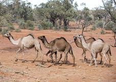 Wild camels Royalty Free Stock Images