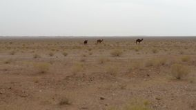 Wild camels. In the desert stock footage