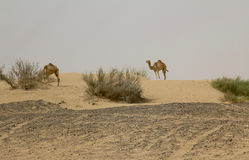 2 wild camels in a desert in Dubai, UAE. During the day Stock Photos