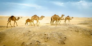 Wild camels in the desert royalty free stock images