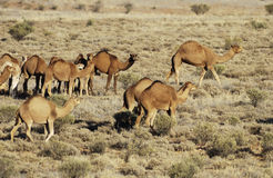 Wild camels. Wild feral camels in the Sturt Stony desert of South Australia stock image