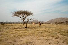Wild camels on grassland in Taif Region, Saudi Arabia royalty free stock photos