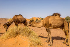 Wild camels in nature of Erg Chebbi area - Morocco. Wild camels in nature of Erg Chebbi area in Morocco Royalty Free Stock Images