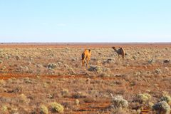 Wild camels Nullarbor Plain, Australia Royalty Free Stock Images
