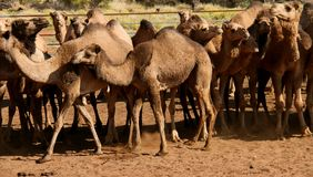 Wild camels Stock Photos