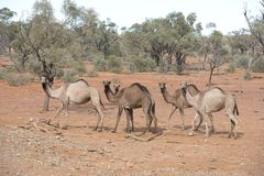 Wild camels in outback Queensland stock image