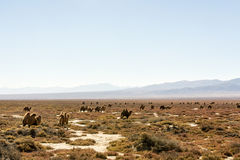 Wild camels in Qinghai China Stock Images