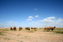 Wild camels on the rimous wasteland Stock Images