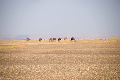Wild camels in Sahara. Wild dromedary camels in Sahara in Morocco Royalty Free Stock Photography