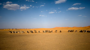 Wild camels in Sahara Royalty Free Stock Photography