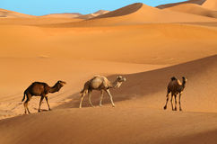 Wild camels Royalty Free Stock Image