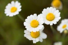 Wild cammolies (daisies) flower on green grass background Stock Photos