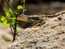 Wild camoflaged Lizard. Royalty Free Stock Photos
