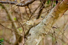 Wild camoflaged Lizard. Royalty Free Stock Photo