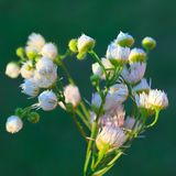 Wild camomile. Close up of wild camomiles white flowers Royalty Free Stock Photo