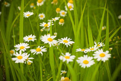 Wild camomile Stock Photography