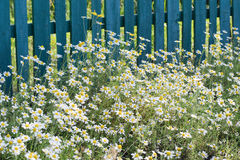 Wild camomile on a background of wooden fence. Daisies on a background of wooden fence Stock Photography